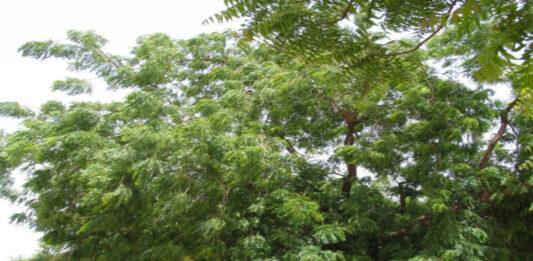 जो पेड़ था नीम का