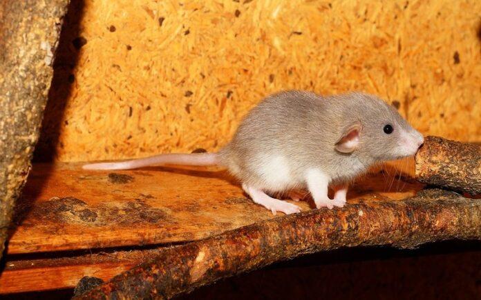 शैतान चूहे