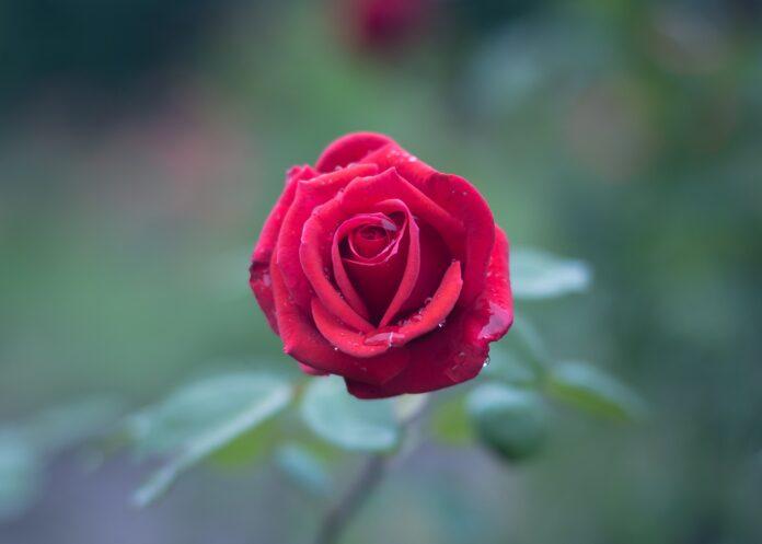 अब किसी से गुलाब मिल जाये